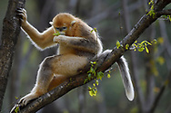 Golden Snub-nosed Monkey, Rhinopithecus roxellana, sitting almost human like in a tree on a branch in Foping Nature Reserve, Shaanxi, China