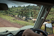 Large cow herd walking along a dirt road seen from a safari car, Ngorongoro Conservation area, Tanzania