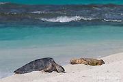 a green sea turtle, Chelonia mydas, basks near an emaciated juvenile Hawaiian monk seal, Monachus schauinslandi, French Frigate Shoals, Papahanaumokuakea Marine National Monument, Northwest Hawaiian Islands, USA ( Central Pacific Ocean )