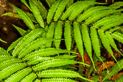 Detailed view of jungle fern in Costa Rica's Tropical Cloud Forests.