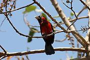 Africa, Ethiopia, Crimson-breasted Gonolek (formerly Crimson-breasted Shrike) Laniarius atrococcineus,