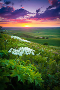 Flowers at Steptoe Butte in the Palouse region of eastern Washington state