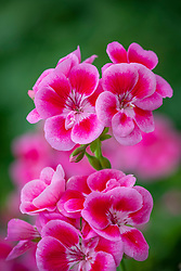 Pelargonium Flower Fairy Rose syn. 'Swero' -Flower Fairy Series