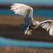 Snowy Owl adult in flight. Barrow, Alaska
