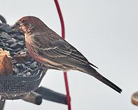 House Finch (Haemorhous mexicanus). Image taken with a Leica CL camera and Sigma 100-400 mm lens.