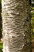 Detail view of a birch tree, Door County, Wisconsin.