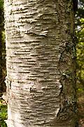 Detail view of a birch tree, Door County, Wisconsin.