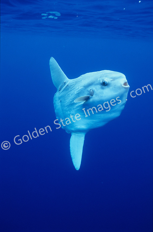 Ocean sunfish feed on jellyfish and other plankton. They can weigh up to 3000 pounds and are often found beneath drift kelp. As for predators, sea lions are commonly seen tearing their fins off leaving them unable to swim. The Ocean Sunfish is the heaviest known bony fish in the world. A Sunfish produces millions of eggs in a single spawn. Sunfish often host a large number of parasites. This is a fin detail with copepod parasites and unknown invertebrate hitching a ride. Their truncated tail is called a Clavus. <br /> <br /> Range: Warm and temperate seas of the world. Moves inshore off California during summer months <br /> <br /> Species: Mola mola