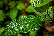 2005, Monte Verde Cloud Forest, Costa Rica: One Green Leaf in the Cloud Forest. RAW to Jpg