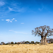 A baobab tree stands out against the blue sky at Tarangire National Park in northern Tanzania not far from Ngorongoro Crater and the Serengeti.
