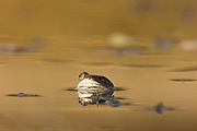 Common frog (Rana temporaria) in golden pond. Surrey, UK.