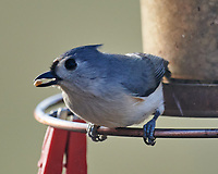 Tufted Titmouse (Baeolophus bicolor). Image taken with a Nikon D800 camera and 600 mm f/4 VR lens.