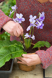 Taking leaf cuttings from streptocarpus using the Vein Cuttings method<br /> Removing leaf