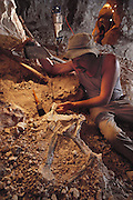 """Hunting for fossils: Mine owner Bob Foster displays fossil dinosaur remains found in an opal mine at """"the Sheepyards"""" mine area Lightning Ridge, southern Australia. Fossil excavations usually follow existing mining operations. The seam of opal-bearing rock is about 100-120 million years old, laid down during the mid-Cretaceous Period, a time of rich diversification of dinosaur species. Australian fossils are particularly interesting, as at that time the continent was much closer to the South Pole than today. This means that many dinosaurs would have had to cope with long periods of permanent darkness during the winter months. MODEL RELEASED [1989]."""