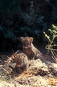 Arabian leopard (Panthera pardus) cubs photographed in the wild in the Judaean Desert, Isreal. One of the few remaining specimen