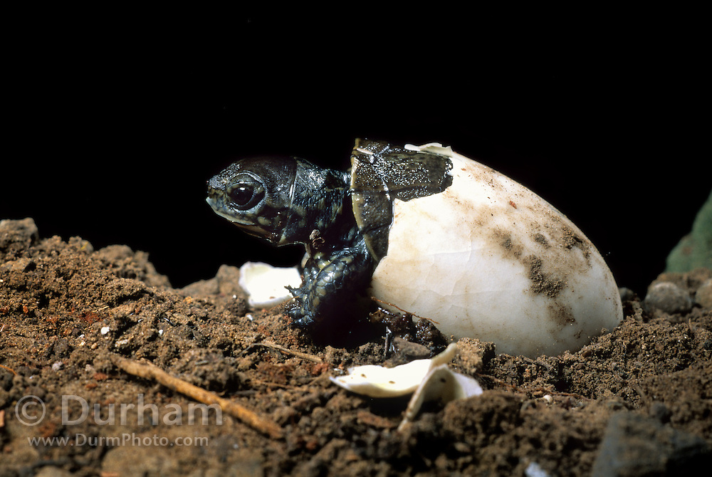 Western pond turtle (Clemmys marmorata) hatching out of its egg. Columbia River Gorge, Washington USA. Temporarily captive/controlled conditions. (5 0f 7)