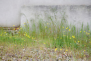 wild yellow dandelions flowers against a cement wall
