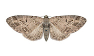 70.184 (1819)<br /> Mottled Pug - Eupithecia exiguata