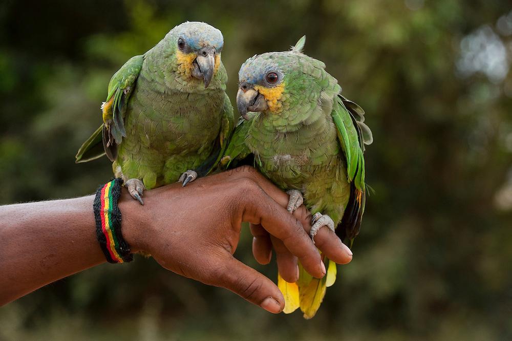 Orange-winged Parrots (Amazona amazonica) CAPTIVE PETS<br /> Lethem<br /> GUYANA<br /> South America