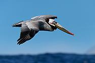Brown Pelican - Pelicanus occidentalis