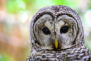 A gorgeous barred owl photographed on private property on Denman Island by wildlife photographer Brenda Johima.