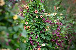 Thunbergia alata 'African Sunset' with Rhodochiton atrosanguineus 'Purple Bells' growing up a birch tripod. Purple bell vine