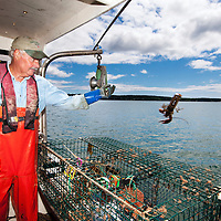 Typical day in the life of a Maine commercial lobster fisherman.  Pulling his traps, cleaning the kelp and seaweed off, then placing fresh fish as bait back in the center of the trap re-setting the trap in the Damariscotta River.