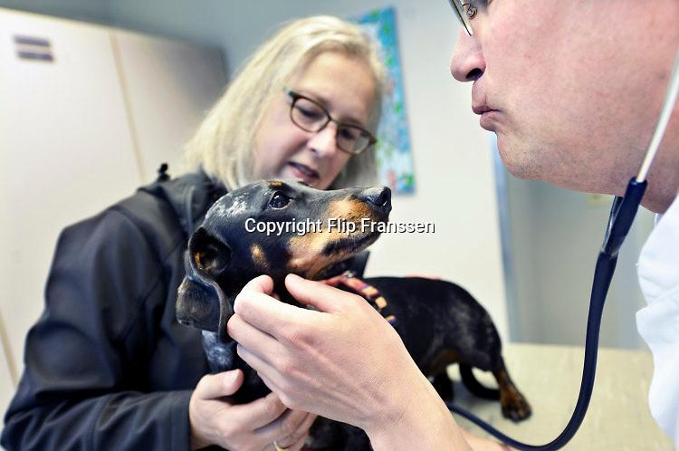Nederland, Nijmegen, 1-7-2016Onze hond, teckel Teun, laat zich gewillig door de dierenarts ondezoeken alvorens hij zijn jaarlijke inenting tegen rabies, hondsdolheid, en de ziekte van Weil krijgt. Foto: Flip Franssen/Hollandse Hoogte