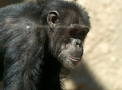 Eddie, one of two new chimpanzees acquired by the Oakland Zoo, seen Tuesday, Aug. 24, 2010 in Oakland, Calif. (D. Ross Cameron/Staff)