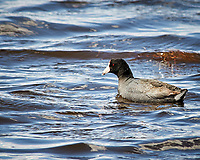 American Coot (Fulica americana). Arapaho National Wildlife Refuge. Image taken with a Nikon D300  camera and 80-400 mm VR lens