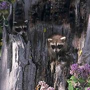 Raccoon, (Procyon lotor) Young kits in hollow log. Spring. Montana. Captive Animal.