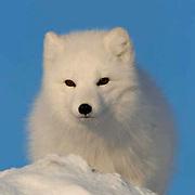 Arctic Fox (Alopex lagopus) near Churchill, Manitoba, Canada