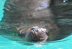 08.06.2011,Tiergarten Schoennbrunn, Wien, AUT, Chronik, im Bild Maehnenrobbe // southamerican sea lion, chronicle, AUT, Vienna, zoological garden Schoennbrunn, 2011-08-06, EXPA Pictures © 2011, PhotoCredit: EXPA/ M. Gruber