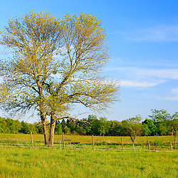 An ash tree in a hay field at the Raymond Farm in Ipswich, Massachusetts.