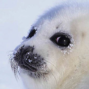 Harp Seal, (Pagophilus groenlandicus) Portrait of pup. Nova Scotia. Canada. Spring.