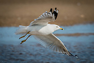 A ring billed gull springs into flight at Paine's Creek Beach.