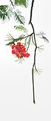 Royal Poinciana Tree Delonix Regia #002vert