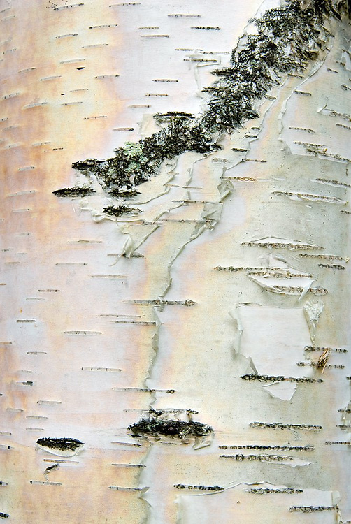 Close up detail of birch tree bark in Vermont