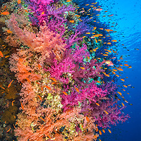 A colourful coral reef wall, with orange scalefin anthias (Pseudanthias squamipinnis) swarming over pink and orange soft corals (Dendronephthya hemprichi and Dendronephthya klunzingeri) in a current. Shark Reef, Ras Mohammed National Park, Sinai, Egypt. Red Sea