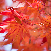 A brilliant orange-red leaf of a Japanese maple tree, or momiji, that has eight sections. This is unusual, as the leaves usually have an odd number of sections.