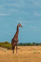 Giraffe, Nxai Pan National Park, Botswana.