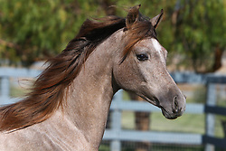 Arab youngster<br /> Day Dream Arabians CA<br /> © Hippo Foto - Bob Langrish
