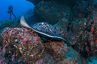 Marble Ray and Diver<br /> <br /> <br /> Shot at Cocos Island, Costa Rica