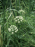 COWBANE Cicuta virosa (Apiaceae)  Height to 1m<br /> Robust, upright and hairless perennial with hollow, ridged stems. Found in damp habitats, including fens and marshes, and sometimes partly aquatic. Extremely poisonous. FLOWERS are white and borne in domed umbels that are 11-13cm across; bracts re absent (Jul-Aug). FRUITS are globular and ridged, with prominent styles. LEAVES are dark green, 2- 3-pinnate and divided into narrow leaflets.