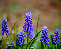 Purple Grape Hyacinth flowers. Image taken with a Fuji X-T3 camera and 80 mm f/2.8 macro lens (ISO 400, 80 mm, f/4, 1/640 sec)