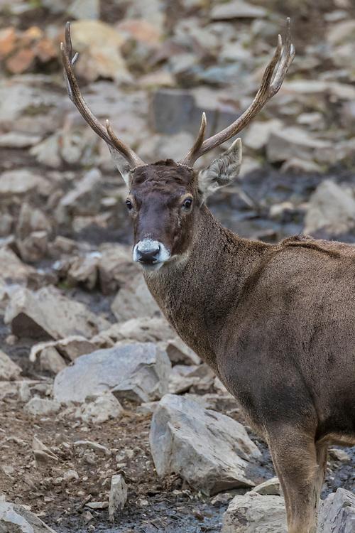 Male, White-lipped deer, Cervus albirostris, 白唇鹿, Serxu, Garze Prefecture, Sichuan Province, China