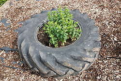 Herbs growing in recycled tyre on allotment