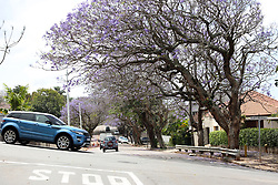 SOUTH AFRICA - Durban - 30 September 2020 - Spring has sprung trees blossom at the Currie road Musgrave<br /> Picture: Motshwari Mofokeng/African News Agency (ANA)