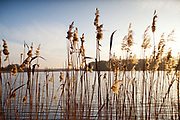 Detail shot of lomg grass as the sun sets in Uckermarkische Seen Natural park, part of the The Feldberg Lake District Nature Park containing large lakes, kettle bogs, and an abundance of plant and animcal species. Brandenburg, Germany. .