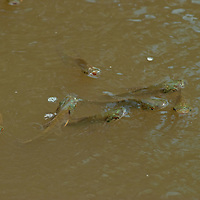 Schools of fish in Peru's Yanayacu River gasp for oxygen during low water season.